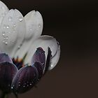 A white daisy. by Dipali S