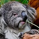 Koala at Healesville by Tom Newman