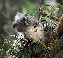 Koala at Healesville 11 by Tom Newman