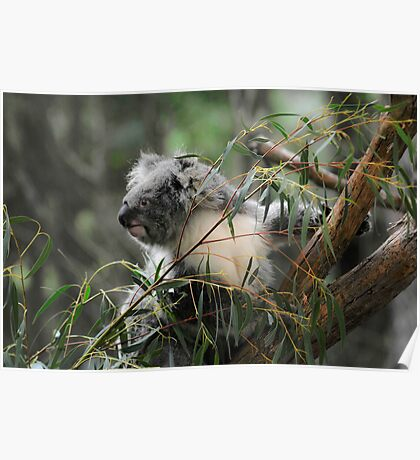 Koala at Healesville 11 Poster
