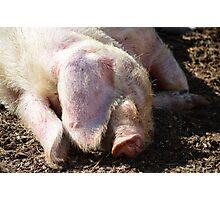 Sleep piggy, sleep! Photographic Print