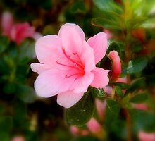 Early Azaleas! by ctheworld