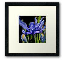Iris Wears Her Blue  Gown Framed Print