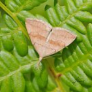 Pale Phalaenostola Litter Moth- IMG_0586 by DigitallyStill
