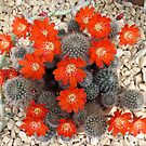 Cactus blooms by John Thurgood