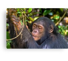 Juvenile Chimp Canvas Print