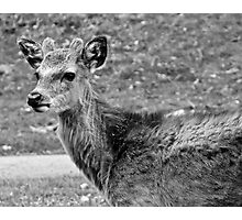 Fawn (2) Photographic Print