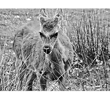 Fawn (3) Photographic Print