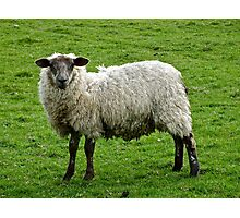 Sheep (1) Photographic Print