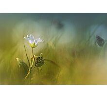 Cerastium fontanum subsp. vulgare  Photographic Print