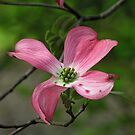 Flowering Dogwood by orko