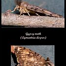 Gypsy moth by DigitallyStill