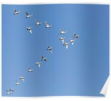 Flock Of Tundra Swans In Flight Poster