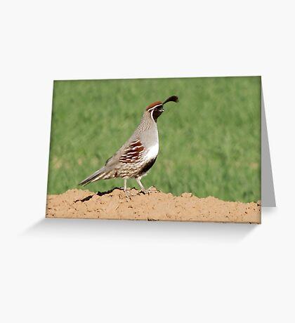 Gambel's Quail (Male) Greeting Card