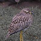Spotted Dikkop (Burhinus capenis) by Warren. A. Williams