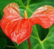 ANTHURIUM FLOWER CAPTURE by ✿✿ Bonita ✿✿ ђєℓℓσ