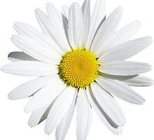 White flower by Olga Chetverikova