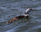 Red Throated Loon by Dennis Cheeseman