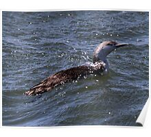 Red Throated Loon Poster
