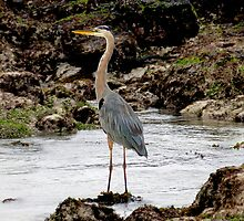 Heron In The Galapagos by Al Bourassa