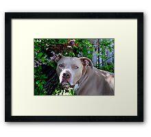 Portrait of a Pit Bull Framed Print