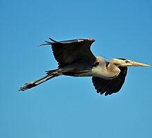 Great Blue Heron In Flight by Cynthia48
