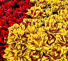 Red and Yellow Tulips by thomr