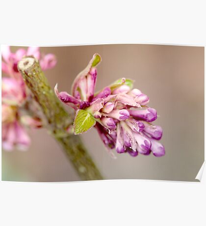 Pink bud Poster