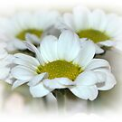 Delicate daisies by shalisa