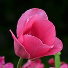 Pink Tulip  by Sparowsong