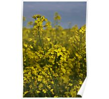 Field of Rapeseed Poster