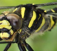 Gold Ring Dragonfly by Mandy Elizabeth  Rush