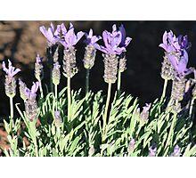 Lavender... Photographic Print
