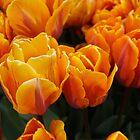 Fiery Tulips by AmishElectricCo
