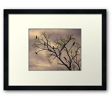 Barren Kookaburras Framed Print