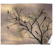 Barren Kookaburras Poster