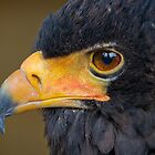 Bateleur Eagle by alan tunnicliffe