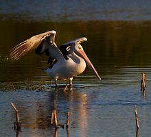 Sunset Pond Pelican by byronbackyard