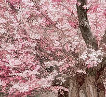 Cherry Blossom Froth by Marilyn Cornwell