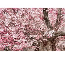 Cherry Blossom Froth Photographic Print