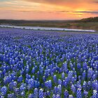 Texas Bluebonnet Images - Bluebonnet Sunrise in Texas by RobGreebonPhoto