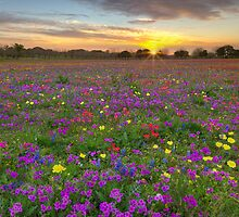 Texas Wildflower Images - Bluebonnets and Paintbrush on Church Road 2014 1 by RobGreebonPhoto