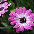 Cape Daisy by karina5
