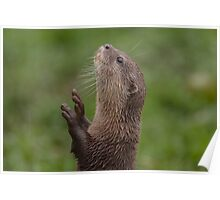 Otter reaching for food Poster