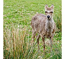 Fawn (1) Colour Photographic Print