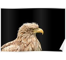 European white tailed eagle isolated on black Poster
