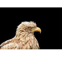 European white tailed eagle isolated on black Photographic Print