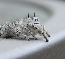 Jumping Spider by Sheryl Hopkins