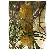 Banksia wrapped Poster