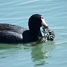 American Coot by sternbergimages